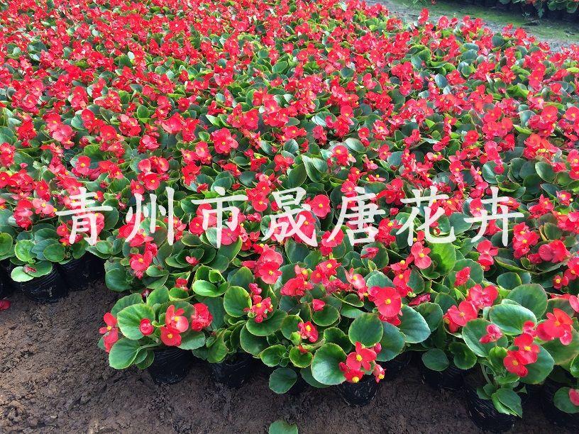 四季海棠(紅葉紅花、綠葉紅花)